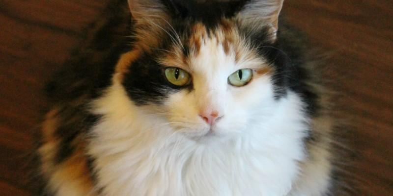 vaccinate your cat